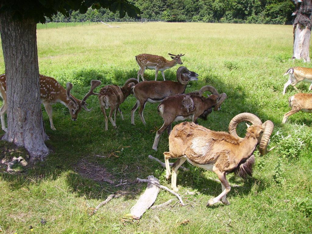 Mufflonherde im Schatten, aufgenommen am 21.6.2008 in Lainzer Tiergarten - 13. Bezirk, Hietzing, Wien (1130-W)
