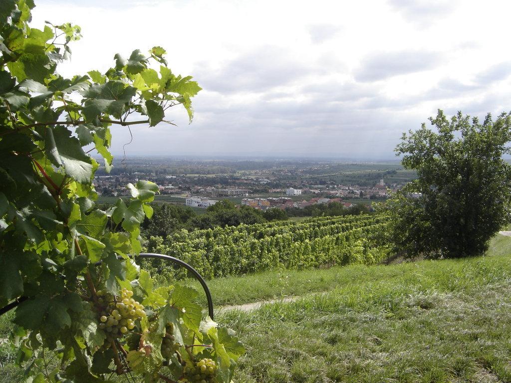 Blick auf die Weinstadt Langenlois vom Schilterner-Berg. - Langenlois, Niederösterreich (3550-NOE)