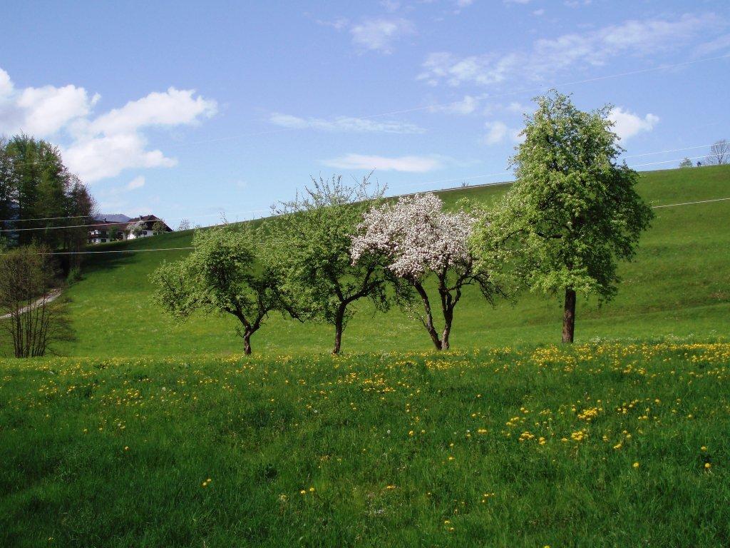 Obstbäume im Frühling - Windhag, Oberösterreich (5351-OOE)