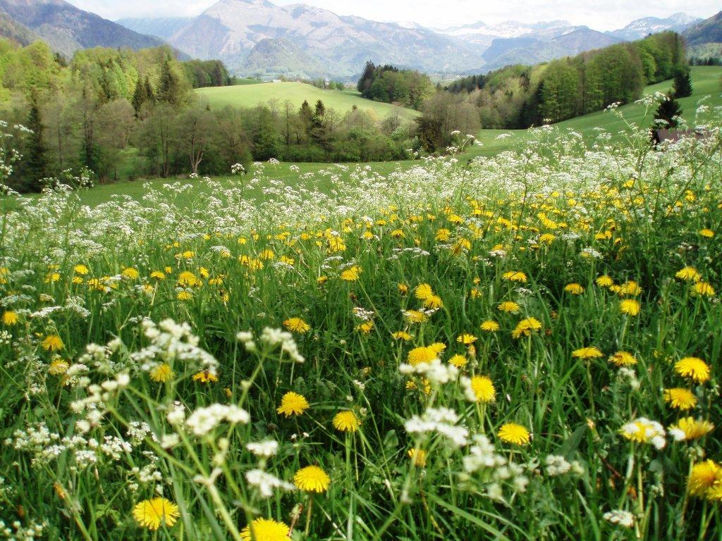 Blumenmeer am Hügel - Windhag, Oberösterreich (5351-OOE)