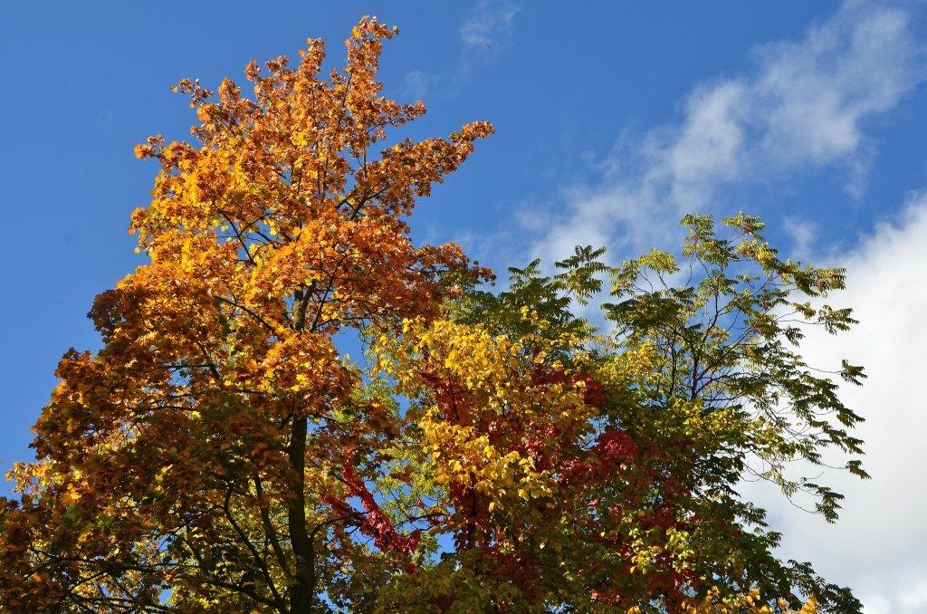 Herbstliche Ahorn und Esche an der Wahlißstraße. - Wahlißstraße, Kärnten (9210-KTN)