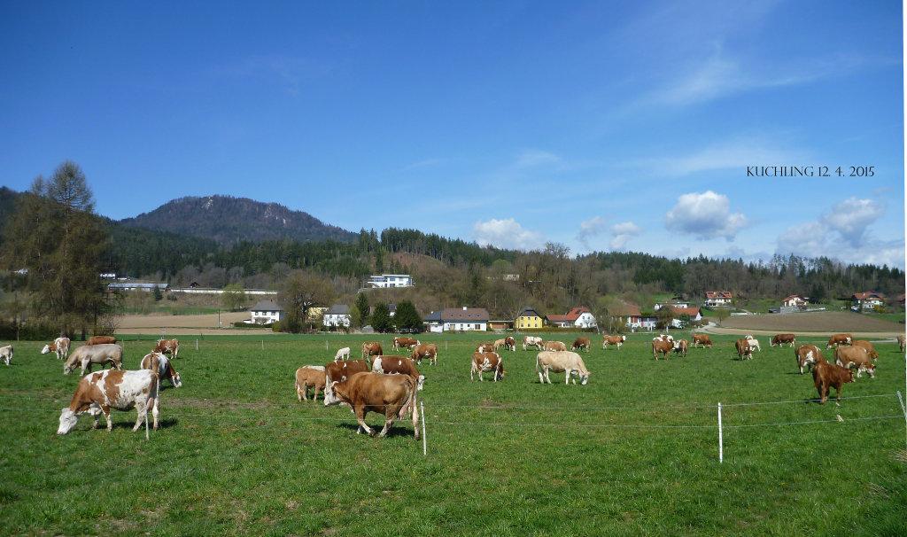 Kuchling 12. 4. 2015. Endlich wieder auf der Weide! - Kuchling, Kärnten (9063-KTN)